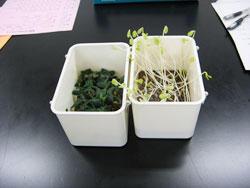 光が植物の芽生えに及ぼす影響を観察しよう