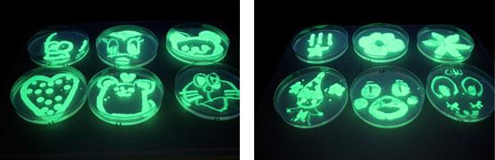 実習「光る大腸菌を観察しよう!」