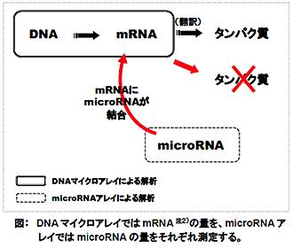 DNAマイクロアレイではmRNAの量を、microRNAアレイではmicroRNAの量をそれぞれ測定する。