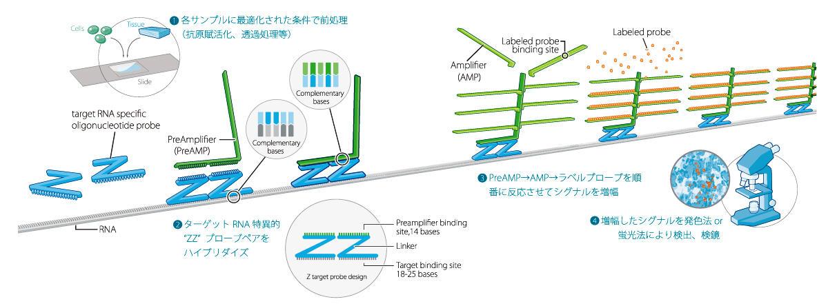 【1】各サンプルに最適化された条件で前処理(抗原賦活化、透過処理等) 【2】ターゲット RNA 特異的
