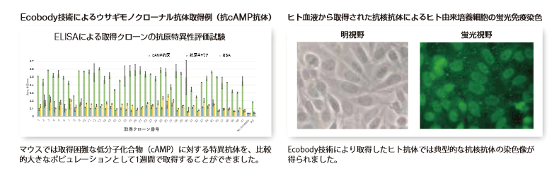 左図:Ecobody技術によるウサギモノクローナル抗体取得例(抗cAMP抗体)、右図:ヒト血液から取得された抗核抗体によるヒト由来培養細胞の蛍光免疫染色