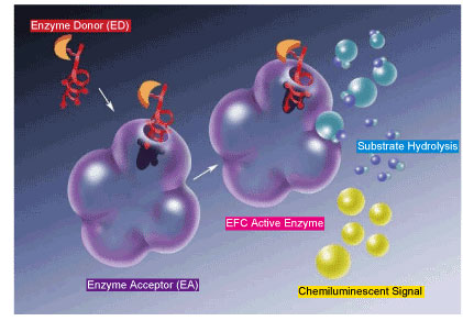 EFC(Enzyme Fragment Complementation)技術の原理