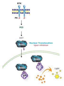 PI3-K/AKTパスウェイ活性化の評価および阻害剤のスクリーニング