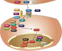 Frizzled受容体の活性化またはβ-カテニンをリン酸化するGSK 3βの阻害剤スクリーニング
