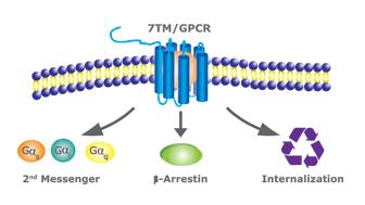 GPCRの内在化/エンドサイトーシス(Internalization)による評価法