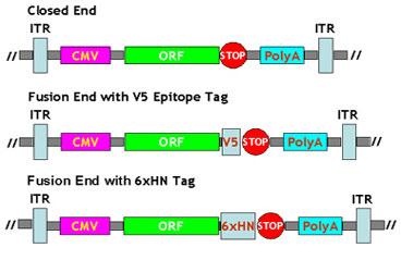 Ad·MAX(TM) アデノウイルス発現&生産システムにプレクローンされたORF