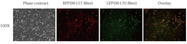 RudolphRFPとCometGFPをHEK293細胞内で同時発現