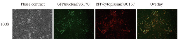 2Aを用いたHEK293細胞におけるCometGFPとRudolphRFPのバイシストロニックな発現