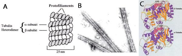 A 微小管の概要, B in vitroで形成したウシの微小管の電子顕微鏡写真, C Tubulin crystal structure developed using T237 Nogales et al1998. Nat. 391, p. 199-206.
