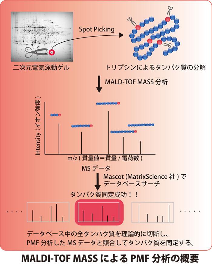 MALDI-TOF MASS による PMF分析の概要