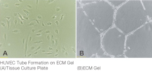 使用例:In vitro 血管新生アッセイキット