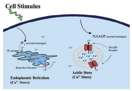 イノシトール三リン酸及びNAADPにおけるCa2+流入機序