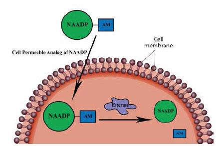 NAADP-AM の作用機序