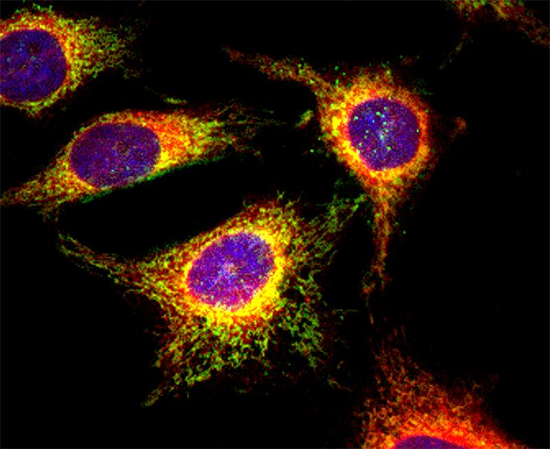 Cell Navigator(TM) 生細胞小胞体(ER)染色キット