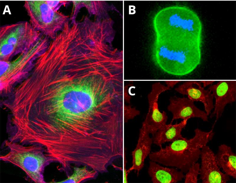 Cellpaint™ 色素で可視化した細胞膜