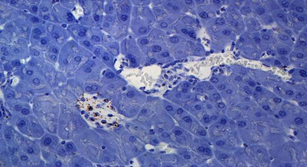 Mouse Pancreas - Wnt4