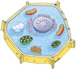 植物細胞小器官マーカー抗体