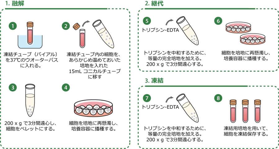 細胞培養プロトコール