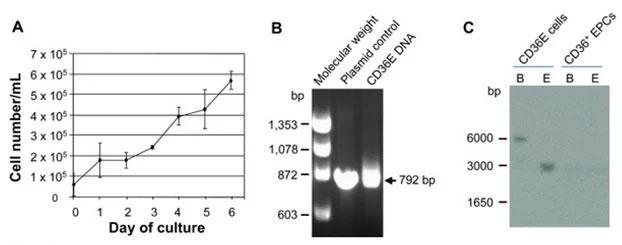 CD36E細胞の生存曲線とゲノムに組込まれたHPV16 E6/E7遺伝子の検出