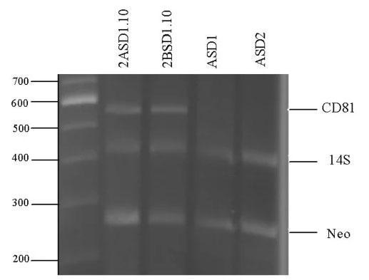 マクロファージ細胞株CD81の遺伝子型