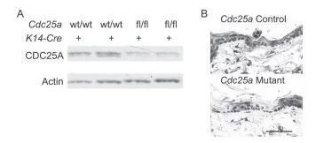 Cdc25a変異マウス表皮におけるCDC25Aタンパク質の低減