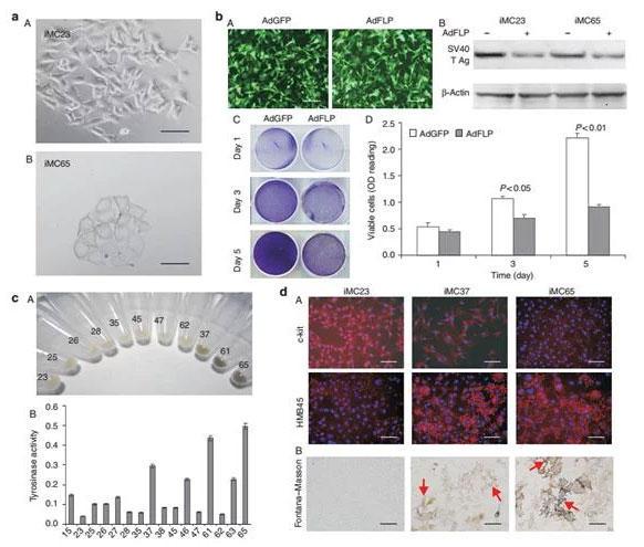不死化マウス メラニン形成細胞の特性解析