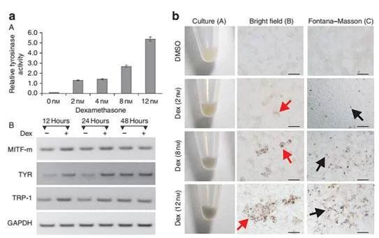 不死化 メラニン形成細胞(iMCs)のメラニン形成能