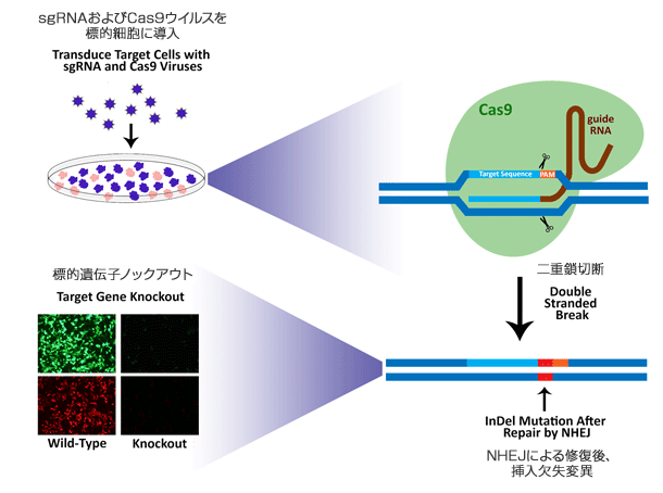 図1. CRISPR/Cas9 によるノックアウト模式図