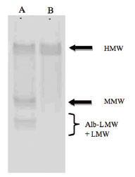 プロテアーゼ消化特異性:WB解析|マウスHMW & Total アディポネクチン