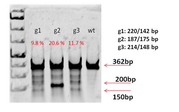 Jurkat-C9m を用いたガイドRNAの検証結果