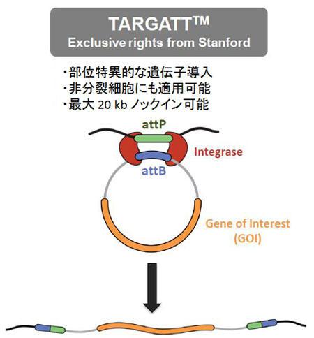 TARGATT™ 部位特異的ノックインマウス作製受託サービス