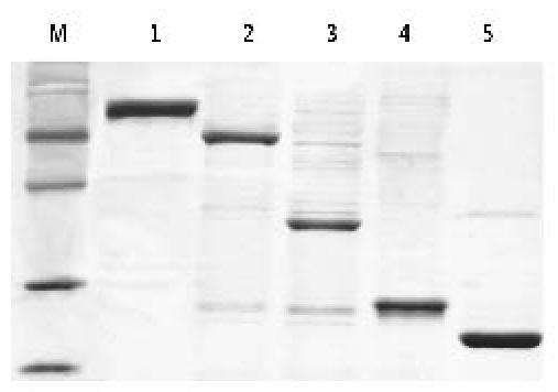 様々なサイズのHisタグ融合タンパク質の精製