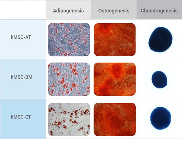 間葉系幹細胞の分化誘導