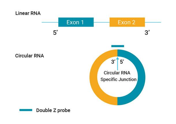 環状RNAの検出