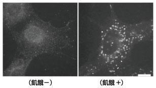 LC3.1703を用いたマウス胎児性線維芽細胞における蛍光免疫染色の解析結果