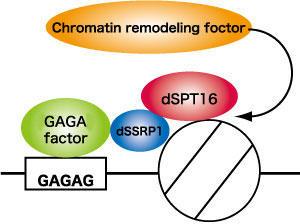 GAGA因子-FACT複合体による塩基配列特異的なクロマチンリモデリング