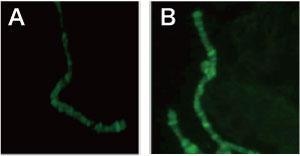 唾腺染色体の免疫染色