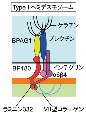 I型ヘミデスモソームの基本構造