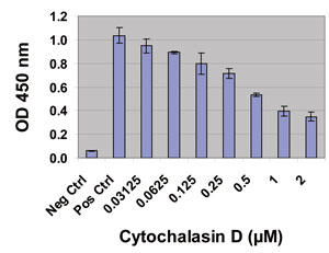 Cytochalasin D によるマクロファージ (Raw264.7) 細胞のファゴサイトーシス阻害