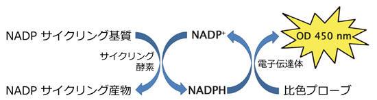 NADP+/NADPH サイクリングアッセイの原理