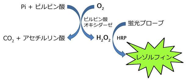 ピルビン酸アッセイプロトコール