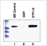 Rac Activation Assay (品番STA-401)を用いたWB