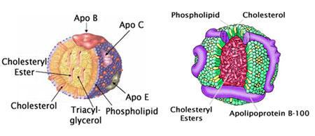 図1 VLDL(左)および LDL(右)の構造