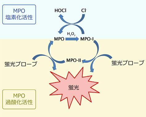 図1 ミエロペルオキシダーゼ(MPO)の塩素化/過酸化反応