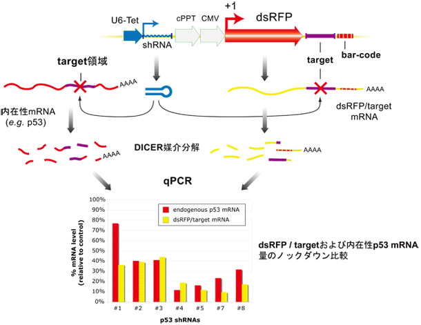 ヒト/マウス shRNA レンチウイルスライブラリ | 次世代シークエンス ...