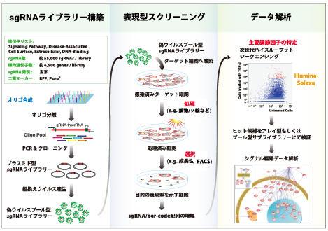 プール型レンチウイルス sgRNA ライブラリ実験概要