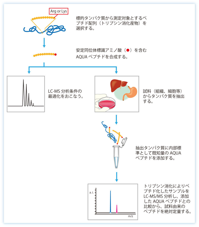 AQUAペプチドを用いたタンパク質の絶対定量
