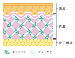 図1 皮膚組織中のエラスチン