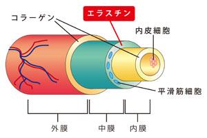 図2 動脈壁中のエラスチン