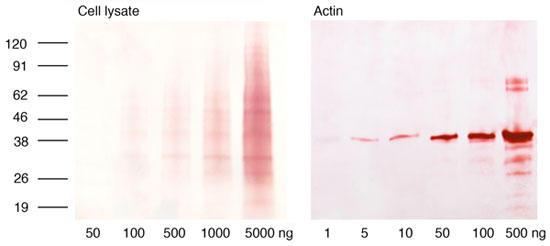 図1 本キットで染色した、ニトロセルロース膜上の細胞ライセート(左)及びアクチン(右) 細胞ライセート(50 ng 〜 5μg)又は精製アクチン(1 ng 〜 0.5 μg)を、一般的なポリアクリルアミド電気泳動法(SDS-PAGE)及びトランスファーのプロトコールに従ってブロットし、本キットで染色した。